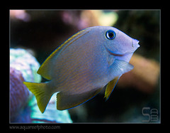 cteno-cyanocheilus7142_110616 (kactusficus) Tags: reef aquarium captive fauna fish coral rcifal ctenochaetus cyanocheilus tang chirurgien acanthuridae surgeonfish