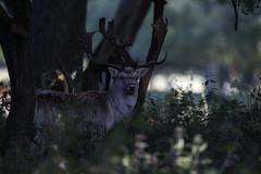 3H8A4072 (shay connolly) Tags: fallow deer dublin phoenix parl wildlife shay connolly