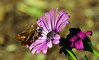 a first Fall photo (fromkmr) Tags: sonya77ii macro fall fallbloom butterfly inthegarden africandaisy osteospermum