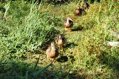 2016 NE Vacation20-Sinking Pond Wildlife Santuary Ducks-East Aurora, NY (Phaota2) Tags: sinking pond wildlife sanctuary aurora new york ny duck ducks plants