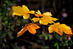 Autumn leaves (nehad1) Tags: autumn fall nature leaves laub herbst foliage bltter