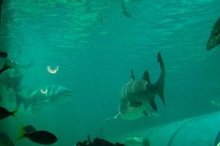 Sydney Aquarium - Shark tank