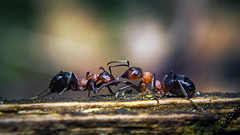 Dueling Ant Knights II (Higher Resolution Re-Upload) ('Ajnagraphy') Tags: world wallpaper macro nature up lens dead miniature fight close little ant images medieval explore micro getty duel knight fujifilm extension combat gettyimages anthill deadly mortal dueling fatality killerants explored macroextensionlens outstandingromanianphotographers hs20exr fujifilmhs20exrsuper