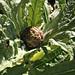 my first globe artichoke