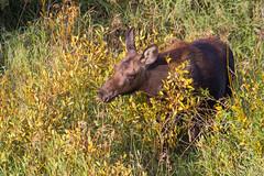 Fast Growing Calf Moose 10 (BigSkyKatie) Tags: autumn summer fall nationalpark moose september calf grandteton 2012 latesummer