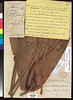 Nelumbo nucifera (Nelumbium turbinatum) US688550 (filibot.web) Tags: plants asia philippines botany specimens nelumbonaceae nelumbo nucifera nelumbium turbinatum filibot