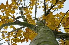Alternative View (Stephen Whittaker) Tags: autumn red orange tree green leaves liverpool 50mm amber leaf bush berry nikon colours berries angle pov f14 low vivid allerton merseyside calderstonespark 50mmprime autmnal bestartever d5100 whitto27