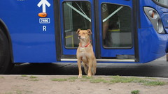 Aperrado fiscalizador (Pelao Arce) Tags: chile city santiago urban dog perro urbano santiagodechile transantiago transportepúblico huechuraba ciudadempresarial subus subuschile fiscalizador
