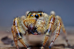 My, What great fangs you've got there (Pat_Landor) Tags: macro home 35mm lens spider jumping nikon made mounted setup reverse fangs showing d5000 wolfpro
