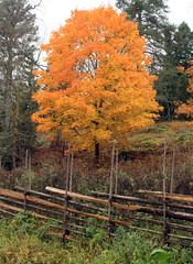 Fenced in Tree (Steffe) Tags: autumn tree fall fence hst tyresta grdesgrd