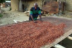 Harvesting the cocoa bean - I love my job (10b travelling) Tags: 2012 carstentenbrink ghana westafrica lake bosumtwi pipiye village cocoa plantation food africa afrika afrique peopleset photoused abidjan declaration sustainability 1000plus