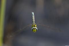 Aeshna cyanea (Le No) Tags: 31 insecte libellule aeshnidae hautegaronne midipyrnes aeshnacyanea odonate stlon lauragais