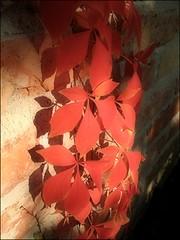 Autumn Fire (Tlgyesi Kata) Tags: autumn garden leaf arboretum foliage virginiacreeper parthenocissus vadszl budaiarbortum withcanonpowershota620