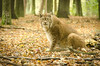 Protecting dinner (Gies!) Tags: wild animal dinner cat lynx thegalaxy flickraward flickraward5 mygearandme mygearandmepremium flickrawardgallery ringexcellence dblr