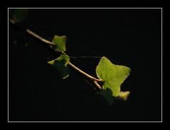 Verde sobre negro (Jos Luis Lpez Vzquez) Tags: verde nikon jose negro luis lopez lugo jos sixto vazquez enredadera sisto vzquez lpez ourol orol