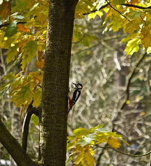 At work . (Fijgje) Tags: autumn lumix woodpecker herfst autumnleaves specht oaktree drenthe dwingeloo 100300 herfstblad eikenboom panasonicdmcg1 fijgje okt2012