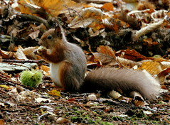 Mmmmm Chestnuts! (SteveJM2009) Tags: uk autumn light red colour detail eye feet beauty face leaves woodland fur nose hands woods october focus dof bokeh tail ears whiskers dorset chestnut tufts iconic poole glade 2012 tufty redsquirrel stevemaskell sciurusvulgaris brownseaisland dwt dorsetwildlifetrust autumn2012 stevemaskellwildlifenearwalksassignment