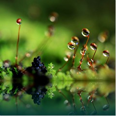 Courtship of the mosses... (CK_Expresso) Tags: world morning plant macro love nature water look canon eos droplets moss dof natural story micro refraction left adore dews admire ef100mm mygearandme mygearandmepremium mygearandmebronze blinkagain ckexpresso flickrstruereflectionlevel1 rememberthatmomentlevel1