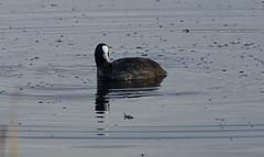 Coot (Rovers number 9) Tags: uk autumn water birds minolta wildlife sony lancashire coot 2012 silverdale rspb leightonmoss a65 minoltaaf100200f45 rspbleightonmoss sonya65