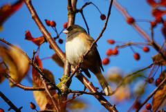 Autumn Dark-eyed Junco (TOTORORO.RORO) Tags: park autumn canada reflection bird nature colors leaves lens mirror reflex berry bc britishcolumbia sony delta mount adapter translucent marsh alpha 500mm f8 ladner wetland darkeyedjunco juncohyemalis reifelmigratorybirdsanctuary nex greatervancouver mirrorless sal500f80 nex6 laea2
