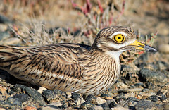 Stone Curlew lying down in camouflage