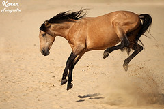Llevado sept. 2012 (amable) Tags: show horses horse beautiful animal animals pretty spirit disney creme pre walt dieren dier stallion andalusian buckskin paard paarden lusitano kleur valk iberian hengst iberico cruzado prance tricktraining iberisch showpaard