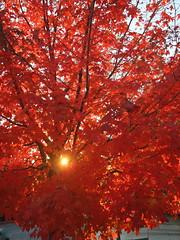 Red Maple In Salt Lake City (Phoebus58) Tags: red usa sun tree fall automne rouge soleil utah saltlakecity arbre mapple erable