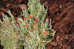 fruticose lichen close-up (lookscloser) Tags: red sydney tiny lichen fruticoselichen