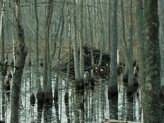 Beaver Lodge (Gerry Dincher) Tags: northcarolina beaver swamp mcmillan wetland greensprings beaverpond cumberlandcounty councilroad robesoncounty greenspringsroad johnmcmillanroad