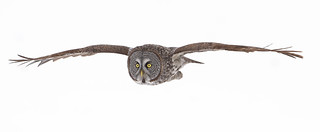 Soaring, Ottawa, - Great Gray Owl,  Canada
