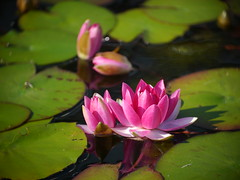 P1020761 (J.B.Zheng) Tags: como flower waterlily lily panasonic g3 ektar m43 kodal marjoriemcneelyconservatory cinelens kodakcineektar102mmf27