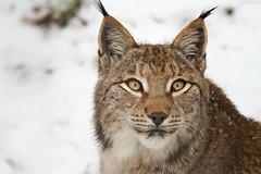 Lynx portrait (Cloudtail) Tags: schnee winter snow cat katze lynx pforzheim wildpark luchs nordluchs