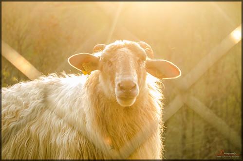 Sheep look