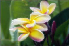 Plumeria (The Surveyor) Tags: flower hawaii oahu plumeria pearlharbor