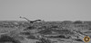 B&W (RASHID ALKUBAISI) Tags: nikon nikkor qatar rashid مقناص راشد حبارى بوخليفة خليفة بوخليفه صيد قنص alkubaisi الكبيسي القلايل wwwrashidalkubaisicom algalayel