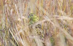 Eastern Ground Parrot (Pezoporus wallicus) (Gus McNab) Tags: parrot ground eastern pezoporus wallicus