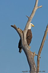 2013_01_26_2673_upd (dthrog00) Tags: clinton baldeagle iowa mississippiriver 60d 70200f4lusm ef14xiiteleconverter