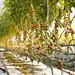 lufa farms 30