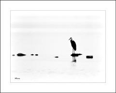 Heron On The Rocks (MEaves) Tags: heron bird avian water rocks bw monochrome blackandwhite minimal