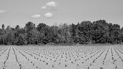 new vines (Franky2step) Tags: vineyards fruit farming fujixt1