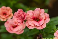 Bloemen (Bert de Boer) Tags: flowers flower flouwers tuinbloemen bertdeboer bertop groningen netherlands bossen buiten floral