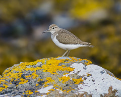 common sandpiper (Karen bullock photography) Tags: commonsandpiper sandpiper scotland isleofskye skye lowermilovaig glendale highlands scottishhighlands actitishypoleucos rivers lakes lochs reservoirs