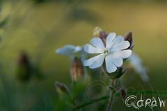 Wit (Qdraw.nl foto's) Tags: avond witte bloem wit landscapes wittebloem hendungen bayern duitsland