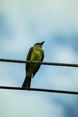 Blackbird (NochedeLunaLlena) Tags: mirla bird aves bokeh colombia santander bucaramanga blackbird animales animals