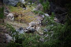 _DSC6049.jpg (Pixelkeeper) Tags: murmeltier wildlife