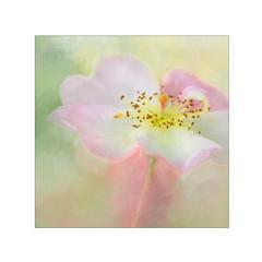 Happy Birthday N. (BirgittaSjostedt) Tags: rosadumalis dogrose flower rose plant wild nature outdoor texture paint birgittasjostedt pastel photoborder magicunicornverybest ie