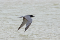 American Black Tern, Salton Sea, Imperial, California (Terathopius) Tags: saltonsea imperialcounty california usa americanblacktern chlidoniasnigersurinamensis chlidoniasniger