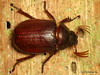 Melolonthidae, Scarabaeidae (Ecuador Megadiverso) Tags: andreaskay beetle coleoptera ecuador loscedros melolonthidae scarab scarabaeidae