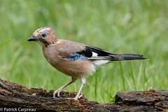 Jay (Patrick Carpreau) Tags: vogelhutglennvermeersch belgie belgium photoshopcc2015 kalmthout vogelhut hut2 vogel vlaamsegaai jay bird flanders
