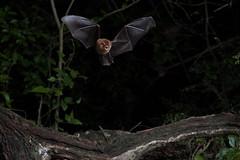 Bats in Calakmul (Mxico) (Pablo Bou) Tags: altavelocidad artstica calakmul campeche fauna mamferos murcilagos mxico naturaleza quirpteros fototrampeo